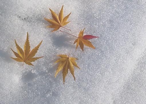 もみじと雪