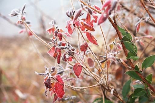 霜が降りた赤い葉